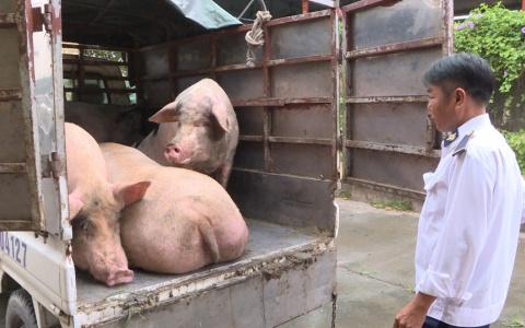 Phát hiện xe chở lợn vào Thái Bình không có giấy kiểm dịch